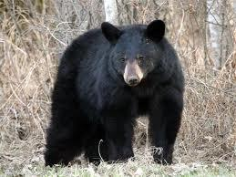 bear normal