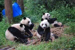 lots of pandas