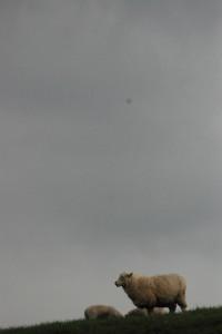 Rainy day sheep