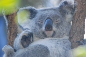 the marsupial