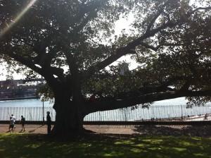 Tree Sydney
