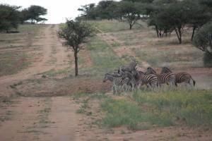 Zebra bunch
