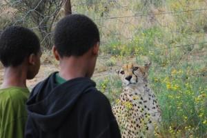 cheetah eye contact