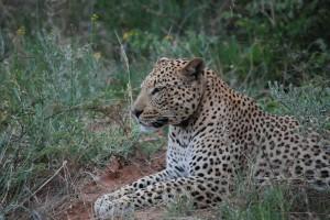 leopard defender
