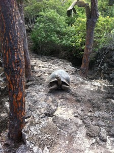 Here is lonesome George walking around.