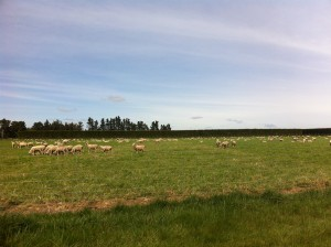 Here is a photo of sheep in New Zealand.