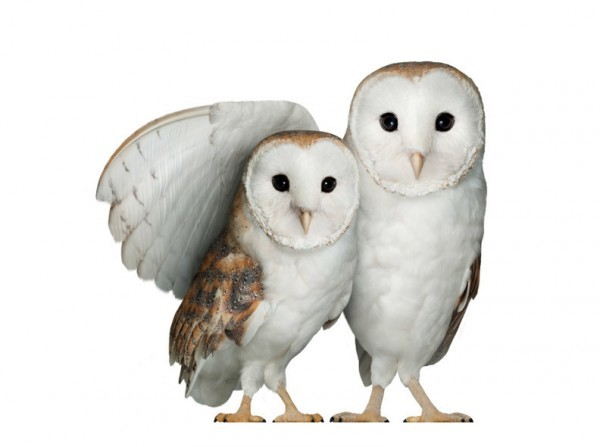 Telus Owls