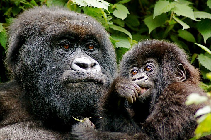 COMP-xx-Volcanoes-Safaris-UK-Gorilla-and-baby-2012