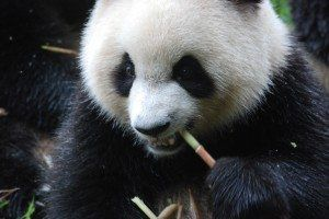 Visiting with Pandas in Chengdu China. A spotlight on Asia by Globetrotting Mama.