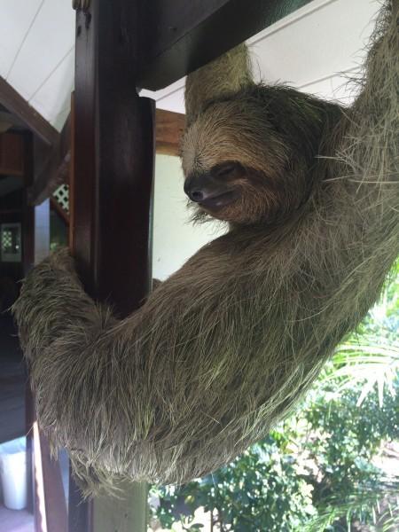 costa rica sloth