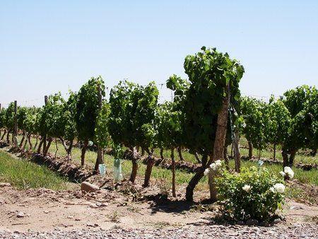 vineyard, lujan de cuyo, mendoza, argentina