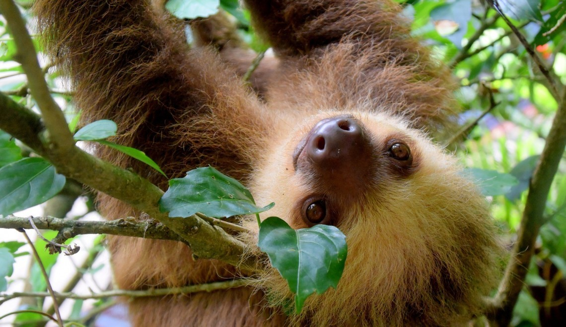 A sloth looks at the camera in Costa Rica - Don't miss these Cyber Monday travel deals on Globetrotting Mama
